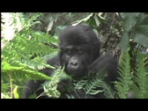 Stock Video Footage of gorillas - baby beats chest