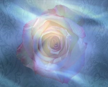 Spring rose p Stock Footage