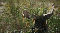 Moose Bull Grazing in Grand Tetons National Park Footage