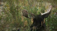 Moose Bull Grazing in Grand Tetons National Park Stock Footage