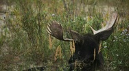 Stock Video Footage of Moose Bull Grazing in Grand Tetons National Park