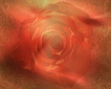 Autumn rose p Stock Footage