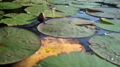 Lilly pads Stock Footage