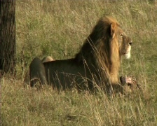 Lion with a kill Stock Footage