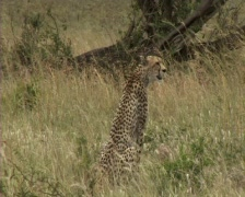 Cheetah sitting - stock footage