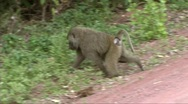 Stock Video Footage of Baboon on a road