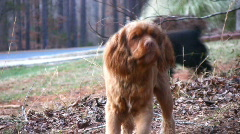 Barking cocker spaniel02 Stock Footage