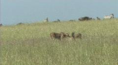 Cheetahs making a kill Stock Footage