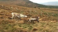Stock Video Footage of More Reindeer in the Cairngorm Mountains