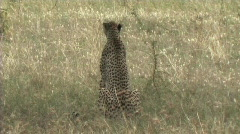Cheetah sitting in the grass Stock Footage