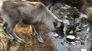 Reindeer in Cairngorm Mountains Stock Footage