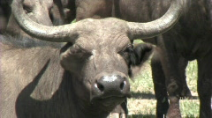 Close-up of a buffalo Stock Footage