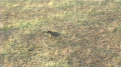 Hyena running Stock Footage