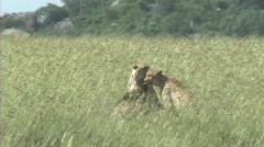 Cheetahs resting - stock footage