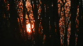Sunset through windy trees. Footage
