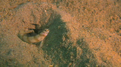 Goby guarding hes hole Stock Footage
