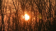 Stock Video Footage of Sunset through windy trees.