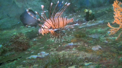Common Lionfish, Pterois miles on a reef in the Philippines - stock footage