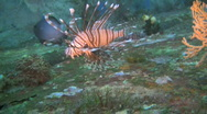 Stock Video Footage of Common Lionfish (Pterois miles)