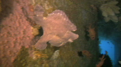 Giant Frogfish, Antennarius Commerson on a reef in the Philippines Stock Footage
