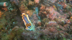 Nudibranch Chromodoris magnifica on a coral reef in Philippines Stock Footage