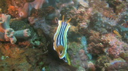 Stock Video Footage of Nudibranch (Chromodoris magnifica) in Philippines