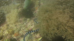 Banded sea snake, Laticauda colubrina on a coral reef in  Philippines Stock Footage