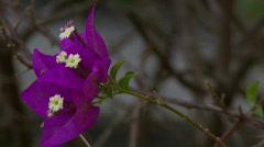 Purple Garden Flower in bloom Stock Footage