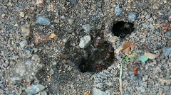 Ants nest. Macro. Stock Footage