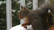 Squirrel in winter eating hazelnut Stock Footage