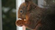 Squirrel in winter eating hazelnut Stock Footage