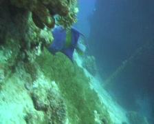 Yellowbar  angelfish Stock Footage