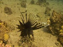 ZEBRA lion fish Stock Footage