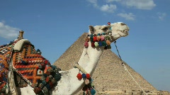 Camel Chewing in front of Great Pyramid in Giza Egypt Stock Footage