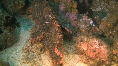 Bandfin scorpionfish Scorpaenopsis vittapinna in the Philippines Stock Footage
