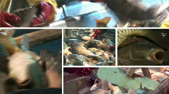 Multiscreen freshwater fish in pond Stock Footage