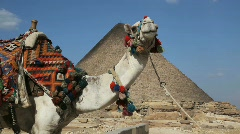 Camel in front of Great Pyramid in Giza Egypt Stock Footage