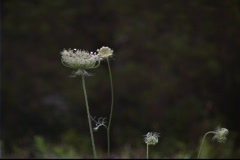 Queen Anne's lace blowing gently in a field Stock Footage