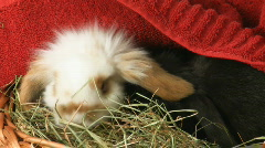 Cute baby Easter rabbits V Stock Footage