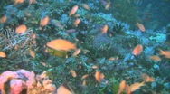 Stock Video Footage of Sea goldie (Pseudanthias squamipinnis)