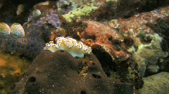 Nudibranch Glossodoris atromarginata on a coral reef in the Philippines Stock Footage