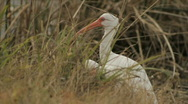Stock Video Footage of Florida Ibis