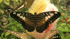 Butterfly on Bohol island in central visayas in the Philippines Stock Footage
