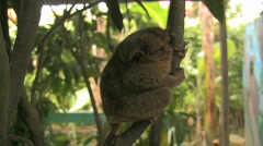 Bohol Tarsier Carlito Pizarras one of the smallest primates in the world - stock footage