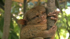 Bohol Tarsier Carlito Pizarras one of the smallest primates in the world Stock Footage
