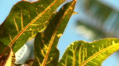 Croton Leaf - stock footage