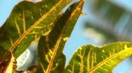 Stock Video Footage of Croton Leaf