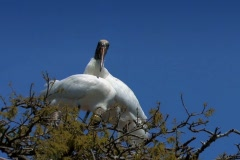 Endangered Wood Storks nesting high in tree Stock Footage