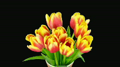Time-lapse of opening red-yellow tulips vase alpha matte 2 Stock Footage