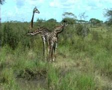 Stock Video Footage of Giraffes feeding